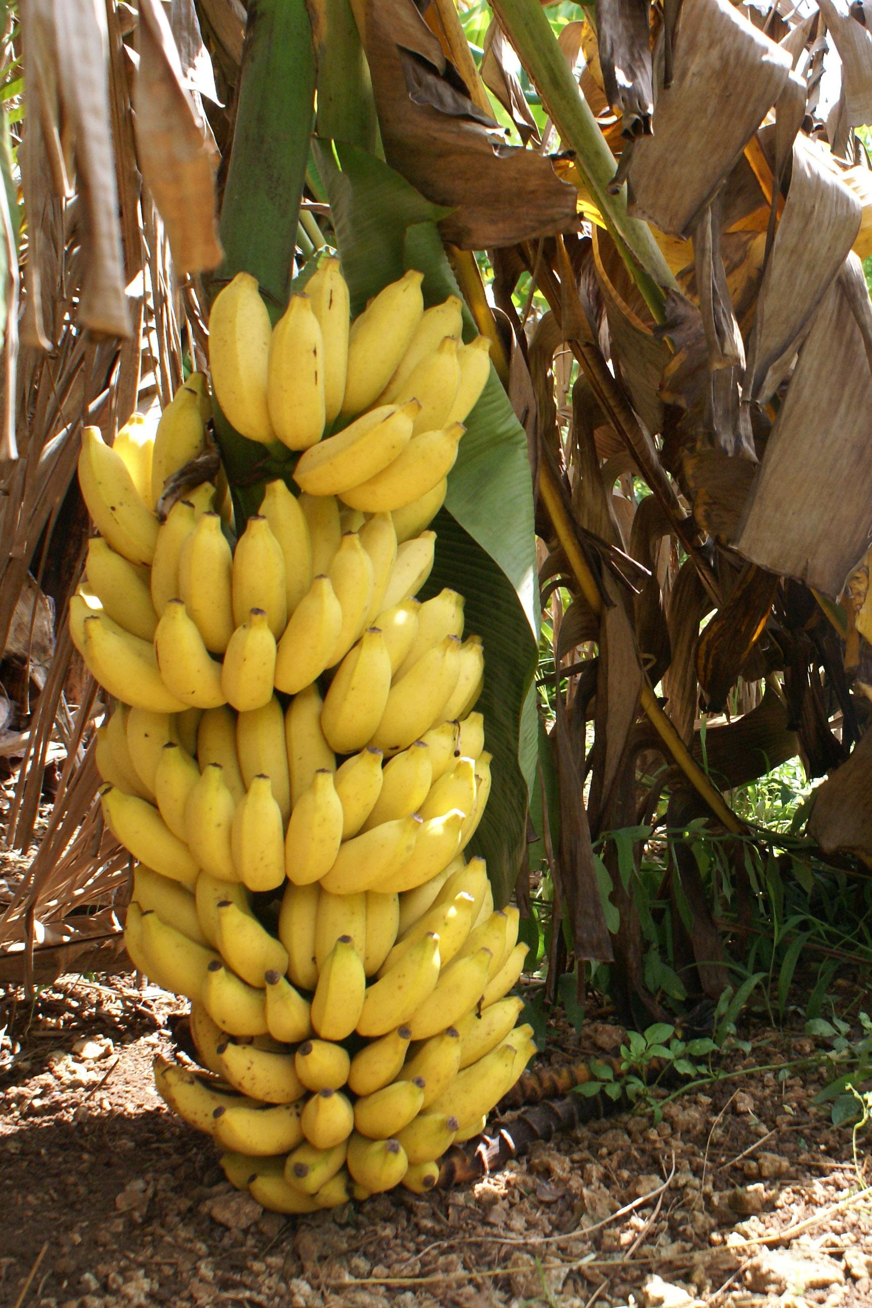 banana tree - photo #1