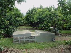 chicken tractors in between avocado trees at Bee Heaven Farm
