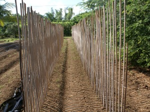 bamboo bean trellising